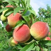 Pêssego: Fruta da temporada