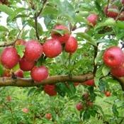 Caxias do Sul deve colher 105 mil toneladas de maçã