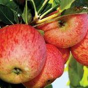 Colheita da maçã, expectativa de crescimento e boa qualidade na Serra