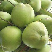 Parceria fortalece pesquisas com coco