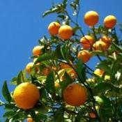Produção e a comercialização de tangerinas