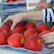 Cultivar Monalisa apresenta frutos exuberantes