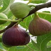 Figo: desvende os mistérios desse alimento