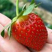 Comer morango pode reduzir o colesterol