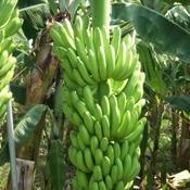Banana de laboratório pode ajudar no combate à escassez de vitamina A
