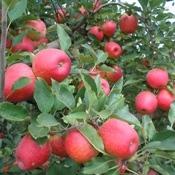 AMAP define nossas estratégias para o cultivo da maçã