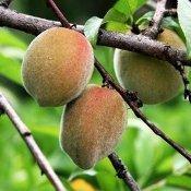 Encontro vai levar informações para produtores de frutas de caroço
