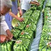 As melancias quadradas do Japão