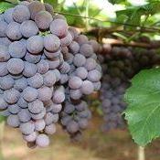 Produção de uva orgânica certificada avança no RS