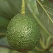 """Diferença entre """"avocado"""" e abacate"""