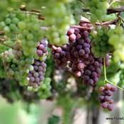 Colheita da uva tem início na região de Pelotas