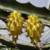 Palestra e Prática sobre as culturas da pitaya e lichia