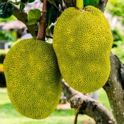 Jaca: 6 benefícios nutricionais dessa fruta de primavera!